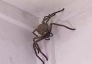 Không phải tốn tiền mua chổi quét mạng nhện làm gì, chỉ với một nắm hạt dẻ, lũ nhện sẽ không dám bén mảng vào nhà