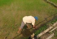 Bị ốc bươu vàng tàn phá, nông dân Hà Tĩnh điêu đứng