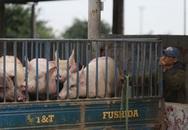 Sợ dịch, nhiều hộ chăn nuôi lợn chưa dám tái đàn