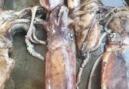 Sự thật về loài mực siêu to đang hút khách Hà thành nhưng dân đi biển không ai ăn