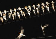Hàng nghìn chim én đậu kín dây điện giữa khu dân cư