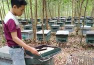 Hà Tĩnh: Hàng trăm tổ ong trong trại nuôi ong của người dân bỗng nhiên chết bất thường