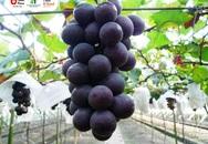 Thêm một lựa chọn cho người Việt mua nho nhập khẩu Hàn Quốc, Meein Farm chính thức gia nhập thị trường phân phối