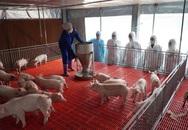 Dịch tả lợn châu Phi có nguy cơ tái phát, nhiều biện pháp ngăn chặn gấp rút được triển khai