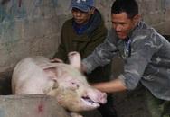 """""""Điểm danh"""" những doanh nghiệp không chịu hạ giá thịt lợn"""