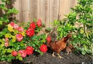 Cuộc sống bình yên, hòa mình cùng thiên nhiên khi trồng rau nuôi gà trong mảnh vườn 650m² của mẹ Việt ở Mỹ