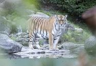 Nhân viên vườn thú bị hổ cắn xé trước mặt khách