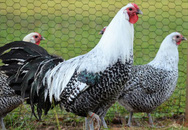 6 giống gà đắt nhất thế giới