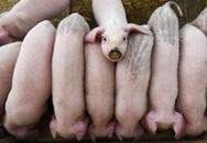 Nông dân Trung Quốc thế chấp lợn để vay ngân hàng