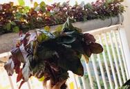 Ban công nhỏ ở chung cư phủ kín đủ loại rau quả sạch nhờ trồng bằng ống nhựa của mẹ đảm ở Sài Gòn