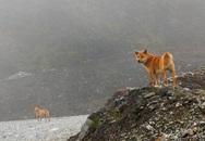 Chuyện lạ: Chó hoang biết hát tái xuất