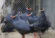 Độc lạ gà lôi tai xanh giá 15 triệu/cặp hút khách dịp tết