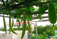 Vườn trên sân thượng trồng đủ loại rau quả sạch không kém gì vườn dưới đất của mẹ đảm ở Vũng Tàu