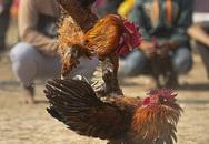 Người đàn ông thiệt mạng vì xem chọi gà