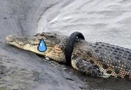 Indonesia thi xem anh nào đủ dũng cảm tháo lốp thít cổ cá sấu