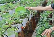 Vườn dâu tây tươi tốt nhờ  tưới sữa ở Ninh Thuận