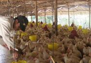 Giá thịt gà rớt thảm hại, thấp hơn giá rau muống