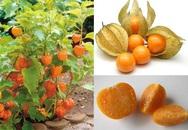 """Đây là loại quả mà người Việt chỉ coi là cỏ dại, sang Nhật được tôn như """"thảo dược quý"""" chữa đủ thứ bệnh"""