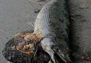Hà Nội: Phát hiện xác sinh vật giống cá sấu hoả tiễn trong công viên Thống Nhất