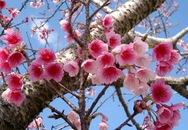 Thành phố Hạ Long tổ chức lễ hội hoa Anh đào