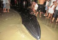 Thức trắng đêm giải cứu cá voi mắc cạn tại đảo Cô Tô