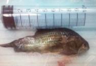 Hóc cá rô sống suýt chết