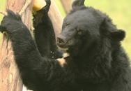 Thân phận của những con con gấu được nuôi lấy mật