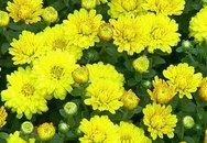 6 loại hoa Tết có công dụng trị bệnh không ngờ