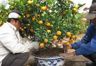 Cách tránh mua quất tươi về trồng lại héo