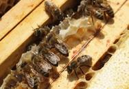 Mật ong có thể thay thế kháng sinh?
