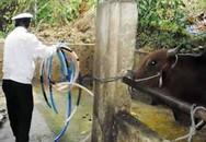 Bơm nước vào trâu bò trước khi giết mổ