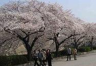 Hoa anh đào: Điều kỳ diệu của Nhật Bản