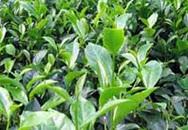 Dùng trà xanh phòng tránh bệnh phụ khoa