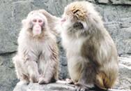 """Ngàn lẻ chuyện ly kỳ về """"Vương quốc khỉ"""""""