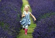 Ngắm cánh đồng oải hương lớn nhất nước Anh