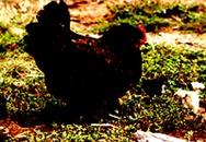Ăn trộm gà, bị đánh chết