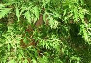 Tác dụng của thảo dược với bệnh nan y