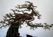 'Đại gia' bỏ tiền tỷ 'săn' cây 'độc' chơi tết