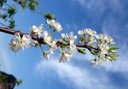 Chùm ảnh: Trắng trời hoa mận miền Tấy Bắc