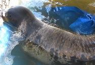Xe Phó giám đốc Sở bị ném vỡ kính khi tịch thu hải cẩu