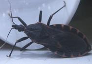 Bọ xít hút máu ở VN không gây bệnh Chagas