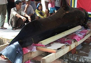 Cá voi Chuông 3,5 tạ dạt vào bờ biển