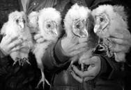 """Nông dân tìm thấy 4 con """"gà mặt khỉ"""""""