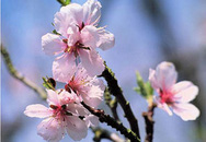 Cắm hoa đào Tết theo... phong thủy