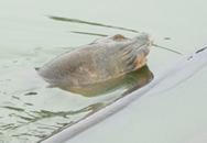Phó Giám đốc Sở NN&PTNT làm Trưởng ban chỉ đạo cứu rùa Hồ Gươm