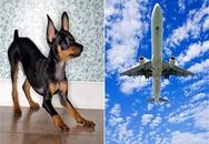Đưa chó đi chôn bằng máy bay