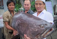 Bắt được cá mú nghệ nặng 80kg