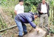 """Dịch lở mồm long móng bùng phát tại Thái Nguyên: Thịt cấm vẫn có """"đất"""" sống?"""