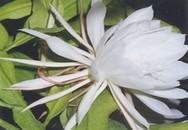 Cách dùng hoa quỳnh chữa ho