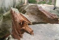 """""""Săn"""" gỗ...ướp xác"""